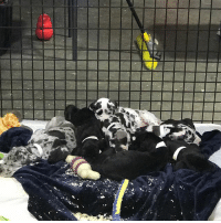What's the best way to spend your Friday afternoon? With these guys of course!! 😍 We're at the temp shelter today with the 84 Great Danes we rescued from a suspected puppy mill last month 🐶 Be sure to tune in and see them our Facebook live later using the linkinbio ⠀ ⠀ p.s. the dogs are not yet available for adoption due to the pending court case - however, if you're dying to get one of these gentle giants into your home, make sure you keep an eye on our website & twitter for updates on them and their status! greatdane stoppuppymills animalrescue puppylove: What's the best way to spend your Friday afternoon? With these guys of course!! 😍 We're at the temp shelter today with the 84 Great Danes we rescued from a suspected puppy mill last month 🐶 Be sure to tune in and see them our Facebook live later using the linkinbio ⠀ ⠀ p.s. the dogs are not yet available for adoption due to the pending court case - however, if you're dying to get one of these gentle giants into your home, make sure you keep an eye on our website & twitter for updates on them and their status! greatdane stoppuppymills animalrescue puppylove