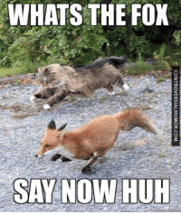 fox say: WHATS THE FOX  SAY NOW  HUH