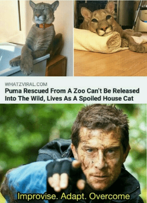Still love him tho: WHATZVIRAL.COM  Puma Rescued From A Zoo Can't Be Released  Into The Wild, Lives As A Spoiled House Cat  Improvise. Adapt. Overcome Still love him tho