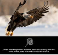 Memes, Eagle, and 🤖: When a bald eagle loses a feather, it will automatically shed the  same feather on its other side to maintain balance