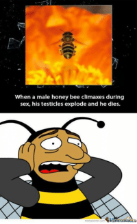 When a male honey bee climaxes during  sex, his testicles explode and he dies.  ne Center Talk about going out with a bang.