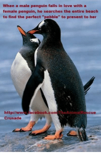 """Did you know.. <3: When a male penguin falls in love with a  female penguin, he searches the entire beach  to find the perfect """"pebble"""" to present to her  Anima  http://  acebook.comA  Cu  Crusade Did you know.. <3"""
