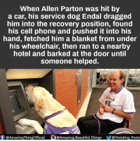 Beautiful, Memes, and Phone: When Allen Parton was hit by  a car, his service dog Endal dragged  him into the recovery position, found  his cell phone and pushed it into his  hand, fetched him a blanket from under  his wheelchair, then ran to a nearby  hotel and barked at the door until  someone helped.  f @AmazingThingofficial  O@Amazing.Beautiful.Things  @Trending Posts
