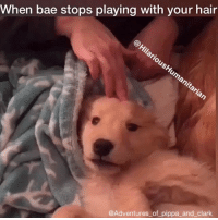 Af, Bae, and Cute: When bae stops playing with your hair  @Adventures of pippa and clark Me af in every way possible 😂🐶❤️ (Video of puppy via @adventures_of_pippa_and_clark ❤️) golden vine videos video relationshipgoals lol puppy puppylove dogs dog ily adorable bae lmao cute socuteithurts funnyvideos laugh wcm wcw HilariousHumanitarian