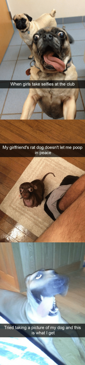Funny dog snapsvia @animalsnaps: When girls take selfies at the club   My airlfriend's rat dog doesn't let me poop  in peace   Tried taking a picture of my dog and this  is what I get Funny dog snapsvia @animalsnaps