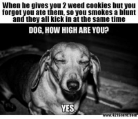 Cookies, How High, and Weed: When he gives you 2 weed cookies but you  forgot you ate them, so you smokes a blunt  and they all kick in at the same time  DOG, HOW HIGH ARE YOU?  YES  www.421Store.com #marijunamemes #cannabismemes #ganjamemes #weedmemes