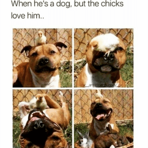 Animals, Dogs, and Love: When he's a dog, but the chicks  love him..  antisocial buttemy. Dog Memes Of The Day 32 Pics – Ep52 #animalmemes #dogmemes #memes #dogs - Lovely Animals World