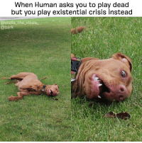 """""""Wtf am I doing with my life?""""-me every day @stella_the_vizsla_: When Human asks you to play dead  but you play existential crisis instead  @stella the vizsla  @bark """"Wtf am I doing with my life?""""-me every day @stella_the_vizsla_"""