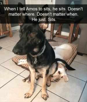 Memes, Tumblr, and Blog: When I tell Amos to sits, he sits. Doesn't  matter where. Doesn't matter when  He just. Sits positive-memes:  Amos is a good boi :p 3333333