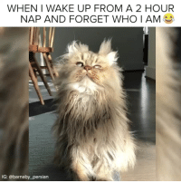 Relatable, Persian, and Who: WHEN I WAKE UP FROM A 2 HOUR  NAP AND FORGET WHO I AM  IG: @barnaby_persian follow 👉 @animalthoughts 😊