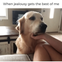 Charlie, Cute, and Dogs: When jealousy gets the best of me  a locharie the goldenie That would be me⠀ Credit, @charlie_the_golden18⠀ .⠀ .⠀ .⠀ .⠀ .⠀ diply diplyvideo dogsofinstagram puppers doggos goldenretrievers jealous family cute dogs