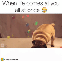 "Memes, Prank, and Pugs: When life comes at you  all at once  ownage Pranks com ""IM OUTTA HERE""  Like our page for MORE funny videos! => OwnagePranks (Original video credit: ""Toy Critic Pug"" by Adam Cox on YouTube)"