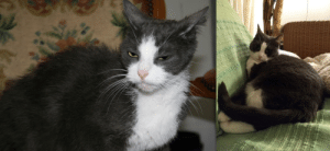 When Mindy was brought to the shelter, she was skin and bones, had bald patches from her flea allergy, and was painfully shy. The same people who brought her, later brought her kittens to the shelter as well. She used to be terrified, but now she's super cuddly, and my mom's plump princess <3: When Mindy was brought to the shelter, she was skin and bones, had bald patches from her flea allergy, and was painfully shy. The same people who brought her, later brought her kittens to the shelter as well. She used to be terrified, but now she's super cuddly, and my mom's plump princess <3
