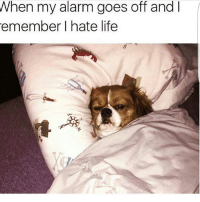 Life, Memes, and Alarm: When my alarm goes off and  emember I hate life Same 😂