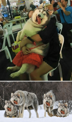 When people say their husky looks like a wolf: When people say their husky looks like a wolf