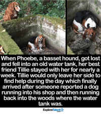Memes, Into the Woods, and 🤖: When Phoebe, a basset hound, got lost  and fell intoan old water tank, her best  friend Tillie stayed with her for nearly a  week. Tillie would only leave her side to  find helpduring the day which finally  arrived after someone reported a dog  running into his shop and then runnin  back into the woods where the water  tank was.  Talent  Explore Best Friends ALWAYS stick together! This makes my heart smile. Good job, Tillie <3  Wow Amazing Dogs