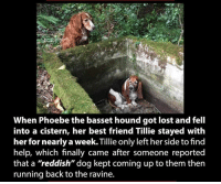 "Best Friend, Memes, and Best Friends: When Phoebe the basset hound got lost and fell  into a cistern, her best friend Tillie stayed with  her for nearly a week.Tillie only left her side to find  help, which finally came after someone reported  that a ""reddish"" dog kept coming up to them then  running back to the ravine."