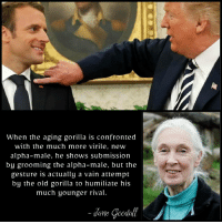 Politics, Old, and Gorilla: When the aging gorilla is confronted  with the much more virile, new  alpha-male, he shows submission  by grooming the alpha-male, but the  gesture is actually a vain attempt  by the old gorilla to humiliate his  much younger rival