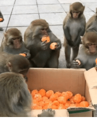 When the buffet is opened 9gag monkey mannersmakethman: When the buffet is opened 9gag monkey mannersmakethman