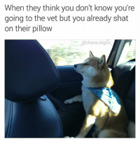 Memes, 🤖, and Think: When they think you don't know you're  going to the vet but you already shat  on their pillow  @chaos.reigns checkmate hooman (follow @chaos.reigns_ for more 👌)