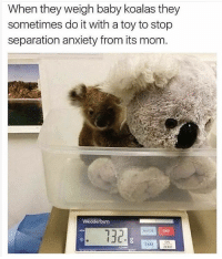Well that is just adorable. Isn't it? ISNT IT?: When they weigh baby koalas they  sometimes do it with a toy to stop  separation anxiety from its mom  132  05s  ERO Well that is just adorable. Isn't it? ISNT IT?