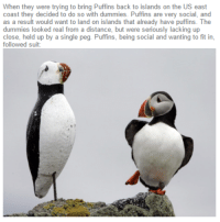 Best, Single, and Back: When they were trying to bring Puffins back to islands on the US east  coast they decided to do so with dummies. Puffins are very social, and  as a result would want to land on islands that already have puffins. The  dummies looked real from a distance, but were seriously lacking up  close, held up by a single peg. Puffins, being social and wanting to fit in,  followed suit: <p>Just doing their best to fit in!</p>