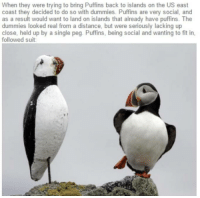 Single, Back, and Fit: When they were trying to bring Puffins back to islands on the US east  coast they decided to do so with dummies. Puffins are very social, and  as a result would want to land on islands that already have puffins. The  dummies looked real from a distance, but were seriously lacking up  close, held up by a single peg. Puffins, being social and wanting to fit in,  followed suit They just want to fit in