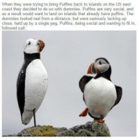 MeIRL, Single, and Back: When they were trying to bring Puffins back to islands on the US east  coast they decided to do so with dummies. Puffins are very social, and  as a result would want to land on islands that already have puffins. The  dummies looked real from a distance, but were seriously lacking up  close, held up by a single peg. Puffins, being social and wanting to fit in,  followed suit: Meirl