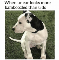 When ur ear looks more  bamboozled than u do That ear has seen some shit! 😂 @funpawcare dogtraining puppylove dogwalking dogpark doglover puppies puppy pupper puppers puppiesofinstagram dogstagram perro adopt rescue volunteer adoptdontshop foster dogs dog vegan pet pets ear ears bamboozled funny paw paws love dogsofinstagram