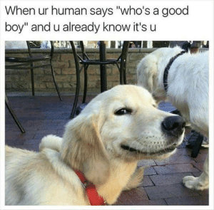 "Good, Boy, and Human: When ur human says ""who's a good  boy"" and u already know it's u And u already now it's u"