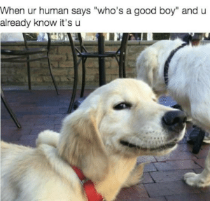 "Good, Boy, and Doggo: When ur human says ""who's a good boy"" and u  already know it's u Good doggo"