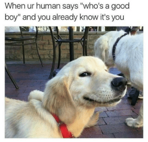"""Dank, Memes, and Target: When ur human says """"who's a good  boy"""" and you already know it's you Good doggo by VolatileVegan MORE MEMES"""