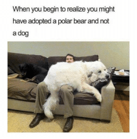 Funny, Bear, and Dog: When you begin to realize you might  have adopted a polar bear and not  a dog @ladbible is my favorite account right now