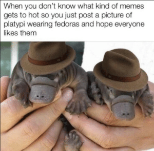 Cute, Frick, and Memes: When you don't know what kind of memes  gets to hot so you just post a picture of  platypi wearing fedoras and hope everyone  likes them cute as ffrick