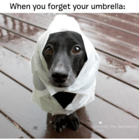 """Memes, 🤖, and Rockets: When you forget your umbrella:  arooket the dachshund """"Yea right am I ruining this blowout"""" literallythatsyou @rocket_the_dachshund"""