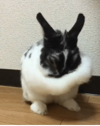 Memes, 🤖, and Bunny: When you got no towel and have to use your chin to rub your face🐰Follow @9gag App📲👉@9gagmobile 👈 - - - 📹ha601216 | Twitter 9gag rabbit bunny fluffy cute
