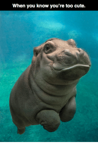 If you're having a bad day, here's a baby hippo smiling 😘: When you know you're too cute. If you're having a bad day, here's a baby hippo smiling 😘