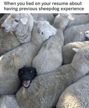 Dank, Resume, and Experience: When you lied on your resume about  having previous sheepdog experience