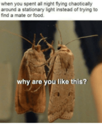 Food, Memes, and Why Are You Like This: when you spent all night flying chaoticaly  around a stationary light instead of trying to  find a mate or food.  why are you like this? Moth population decreasing, moth memes increasing