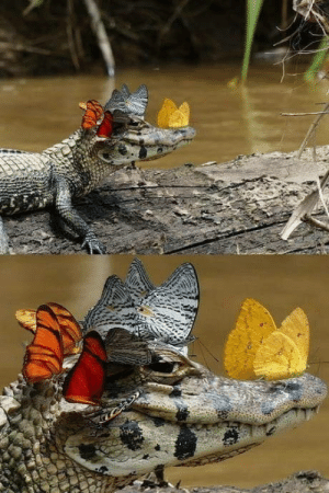 Alligator, You, and  Better: When your alligator looks better than you and he knows it.