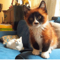 When your cat looks like a tiny red panda..: When your cat looks like a tiny red panda..