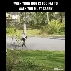 Funny, Memes, and Videos: WHEN YOUR DOG IS TOO FAT TO  WALK YOU MUST CARRY  S Stumbler RT @StumblerFunny: For more funny videos follow @StumblerFunny or visit https://t.co/wXxwph26cH https://t.co/NDwYgAuRdd