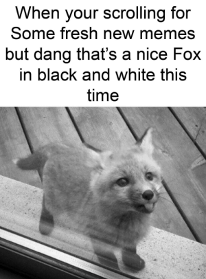 Cute, Fresh, and Memes: When your scrolling for  Some fresh new memes  but dang that's a nice Fox  in black and white this  time So cute