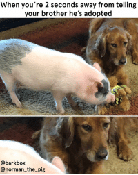 "Memes, Too Much, and Mean: When you're 2 seconds away from telling  your brother he's adopted  @barkbox  @norman_the_pig ""WAIT WHAT DO YOU MEAN I'M ADOPTED TOO?? HOW MANY SECRETS ARE YOU HIDING MOM???????"" - 🐕 Nova 🐽 🐽 WE ARE OBVIOUSLY HAVING TOO MUCH FUN WITH PIG WEEK, GUYS. YOU KNOW THE DRILL: 🐷 ACCEPT THE PIG 🐷 LIKE THE PIG 🐷 FOLLOW THE PIG AND ALSO MAYBE US 🐷 HUG A *CONSENTING* PIG pigweek pigsofinstagram pigs pigsonablanket pigtails goldenretriever squirrelpower datglare trashmemes"