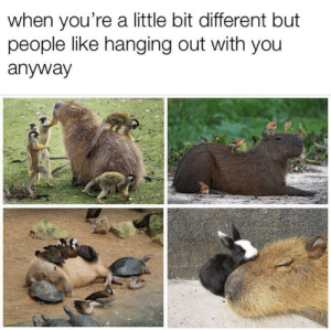 You, Pure, and Like: when you're a little bit different but  people like hanging out with you  anyway Capybaras are too pure