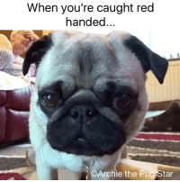 Dad, Friends, and Memes: When you're caught red  handed  Archie the P  tar Dad always catches me. Lots of pug hugs friends...😂😂😂