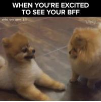 Thanks for coming over. More, https://www.instagram.com/shila_the_pom/ #diplyvideo: WHEN YOU'RE EXCITED  TO SEE YOUR BFF  Shila the pom  I O  Diply Thanks for coming over. More, https://www.instagram.com/shila_the_pom/ #diplyvideo