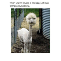 happy llama: when you're having a bad day just look  at this shaved llama happy llama