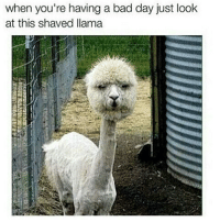 That is creepy😦 🐫: when you're having a bad day just look  at this shaved llama That is creepy😦 🐫