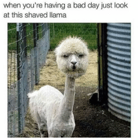 Because it's Tuesday. 🙃: when you're having a bad day just look  at this shaved llama Because it's Tuesday. 🙃
